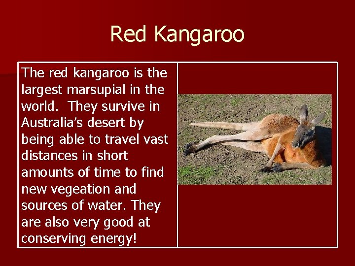 Red Kangaroo The red kangaroo is the largest marsupial in the world. They survive