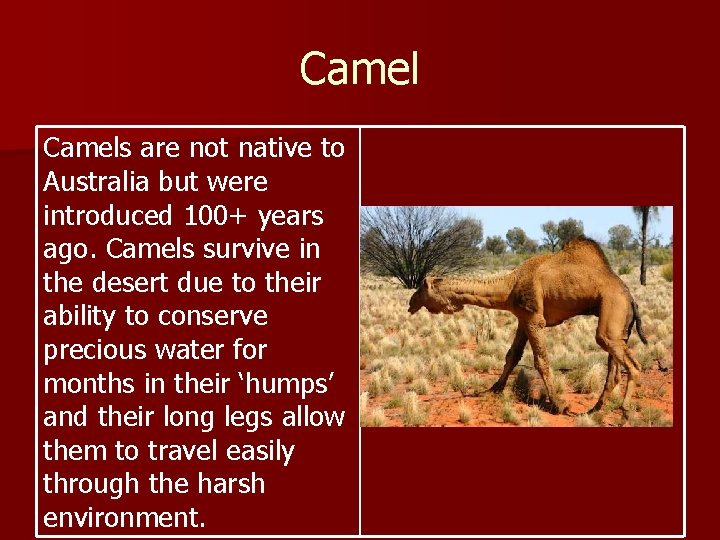 Camels are not native to Australia but were introduced 100+ years ago. Camels survive