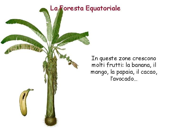 La Foresta Equatoriale In queste zone crescono molti frutti: la banana, il mango, la