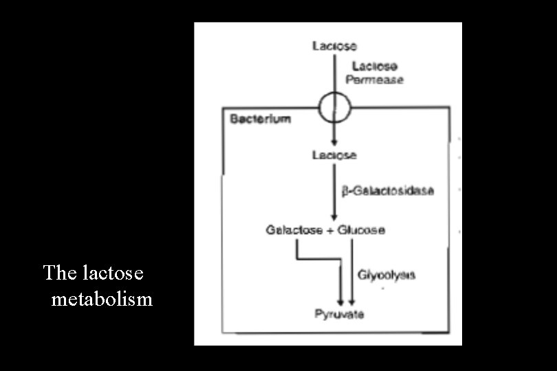 The lactose metabolism