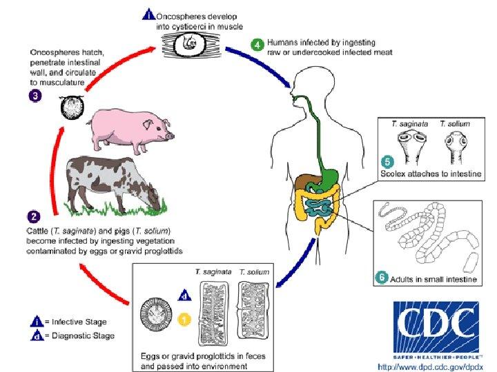 diagnostic de giardia duodenalis)