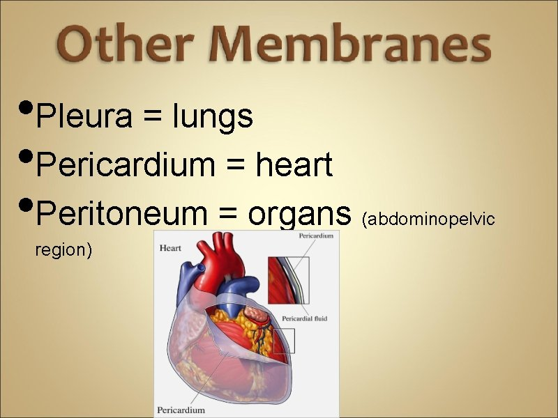 • Pleura = lungs • Pericardium = heart • Peritoneum = organs region)