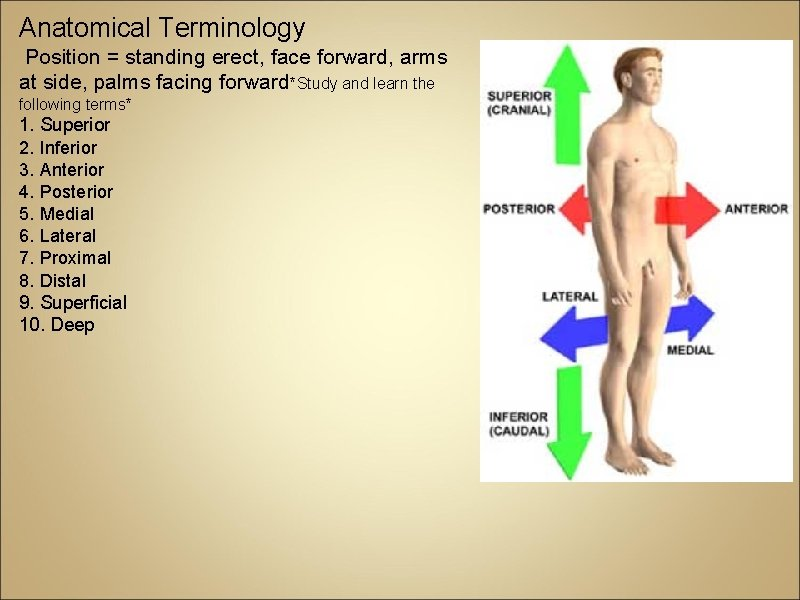 Anatomical Terminology Position = standing erect, face forward, arms at side, palms facing forward*Study