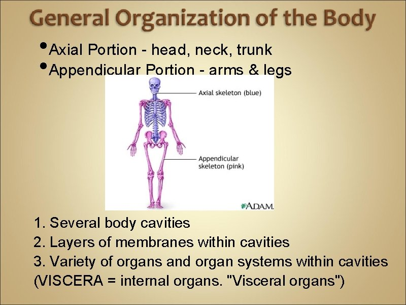 • Axial Portion - head, neck, trunk • Appendicular Portion - arms &