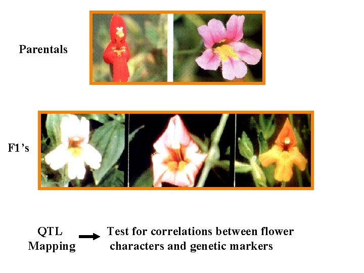 Parentals F 1's QTL Mapping Test for correlations between flower characters and genetic markers