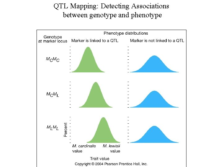 QTL Mapping: Detecting Associations between genotype and phenotype