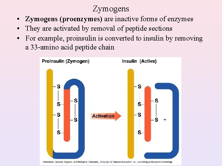 Zymogens • Zymogens (proenzymes) are inactive forms of enzymes • They are activated by
