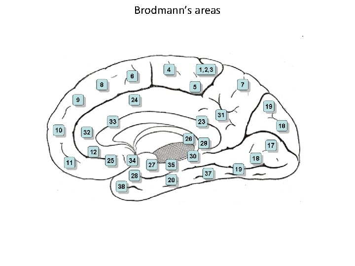 Brodmann's areas