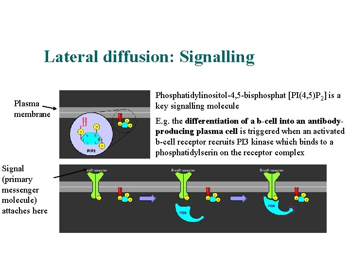 Lateral diffusion: Signalling An example Plasma membrane Signal (primary messenger molecule) attaches here Phosphatidylinositol-4,