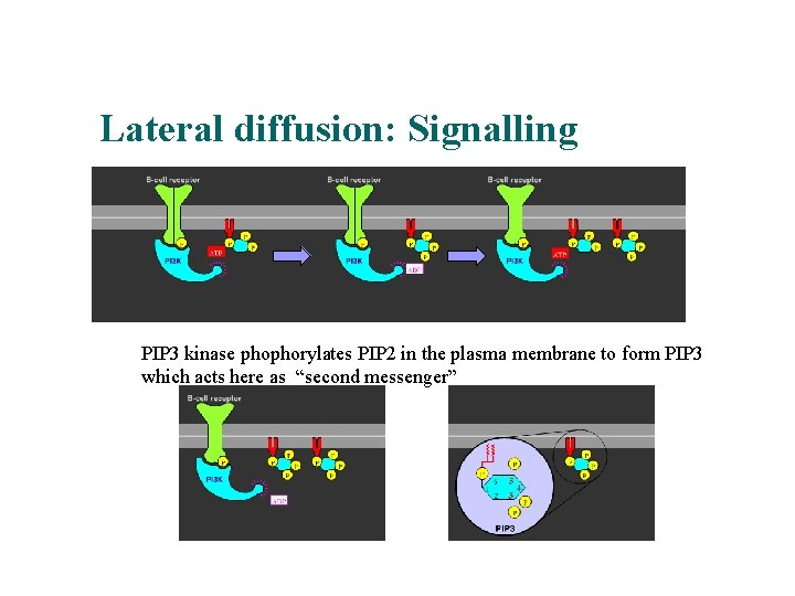 Lateral diffusion: Signalling PIP 3 kinase phophorylates PIP 2 in the plasma membrane to