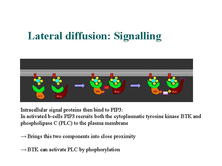 Lateral diffusion: Signalling Intracellular signal proteins then bind to PIP 3: In activated b-cells
