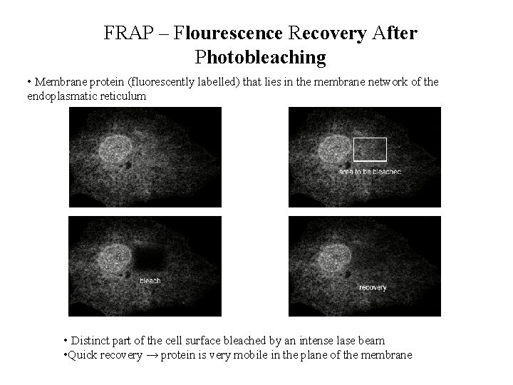 FRAP – Flourescence Recovery After Photobleaching • Membrane protein (fluorescently labelled) that lies in