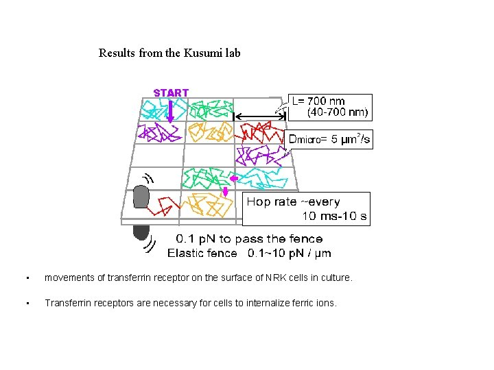Results from the Kusumi lab • movements of transferrin receptor on the surface of