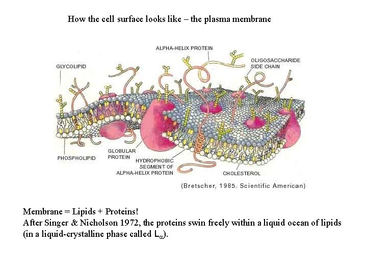 How the cell surface looks like – the plasma membrane Membrane = Lipids +