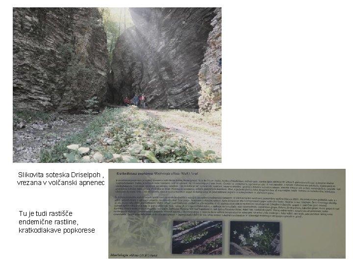 Slikovita soteska Driselpoh , vrezana v volčanski apnenec Tu je tudi rastišče endemične rastline,