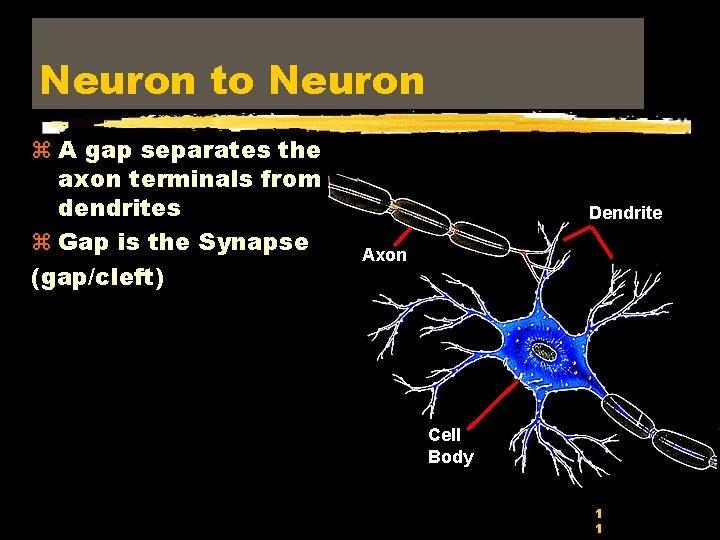 Neuron to Neuron z A gap separates the axon terminals from dendrites z Gap