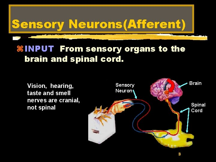 Sensory Neurons(Afferent) z INPUT From sensory organs to the brain and spinal cord. Vision,