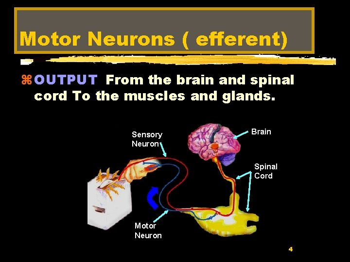 Motor Neurons ( efferent) z OUTPUT From the brain and spinal cord To the