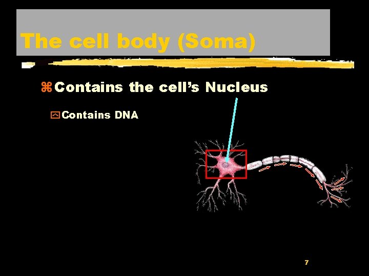 The cell body (Soma) z Contains the cell's Nucleus y Contains DNA 7