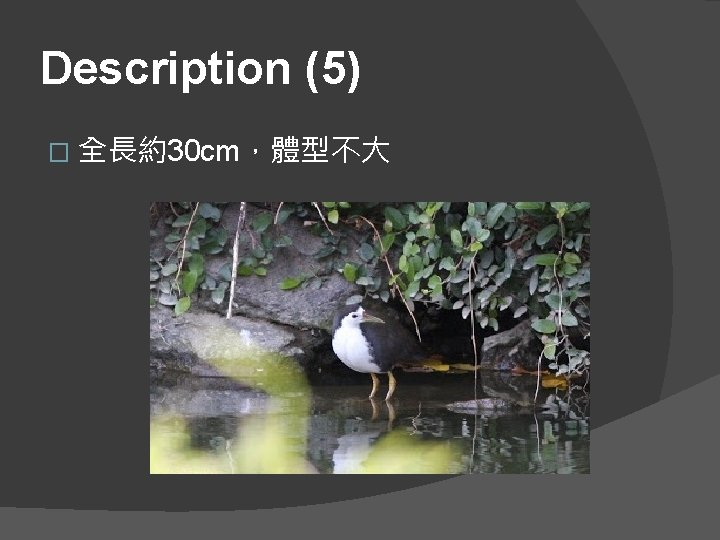 Description (5) � 全長約30 cm,體型不大