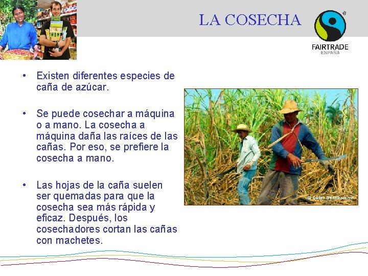 LA COSECHA • Existen diferentes especies de caña de azúcar. • Se puede cosechar