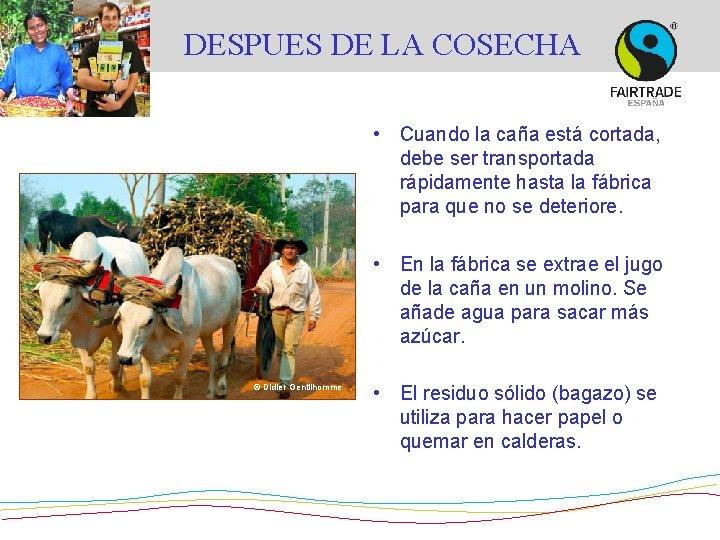 DESPUES DE LA COSECHA • Cuando la caña está cortada, debe ser transportada rápidamente