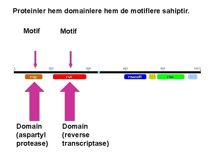 Proteinler hem domainlere hem de motiflere sahiptir. Motif Domain (aspartyl protease) Motif Domain (reverse