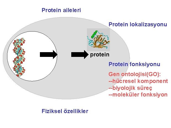 Protein aileleri Protein lokalizasyonu protein Protein fonksiyonu Gen ontolojisi(GO): --hücresel komponent --biyolojik süreç --moleküler
