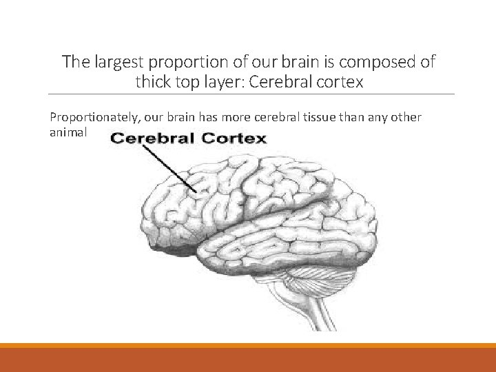The largest proportion of our brain is composed of thick top layer: Cerebral cortex