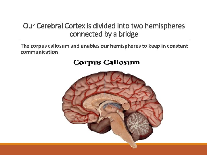 Our Cerebral Cortex is divided into two hemispheres connected by a bridge The corpus