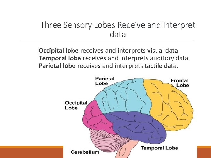 Three Sensory Lobes Receive and Interpret data Occipital lobe receives and interprets visual data
