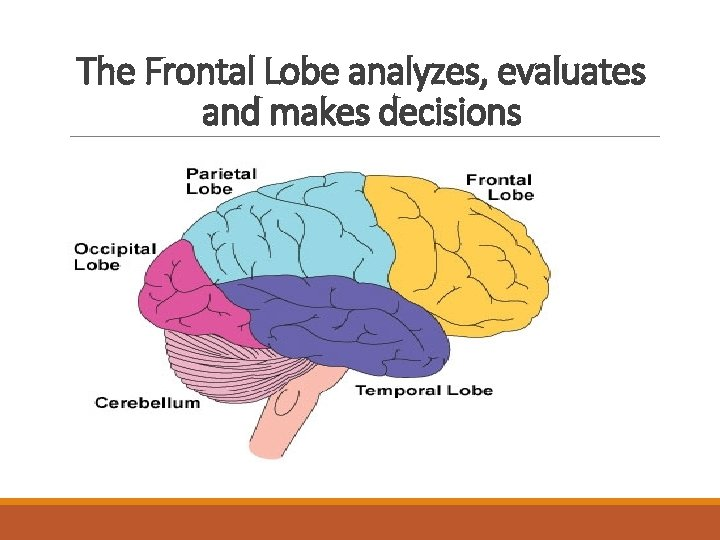 The Frontal Lobe analyzes, evaluates and makes decisions