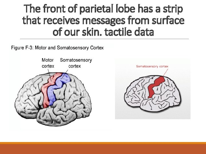The front of parietal lobe has a strip that receives messages from surface of
