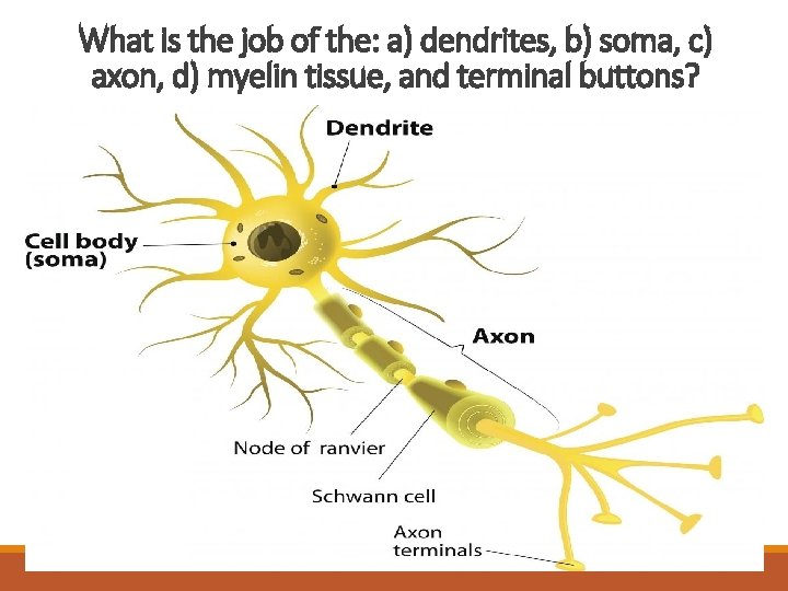 What is the job of the: a) dendrites, b) soma, c) axon, d) myelin