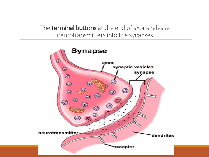 The terminal buttons at the end of axons release neurotransmitters into the synapses