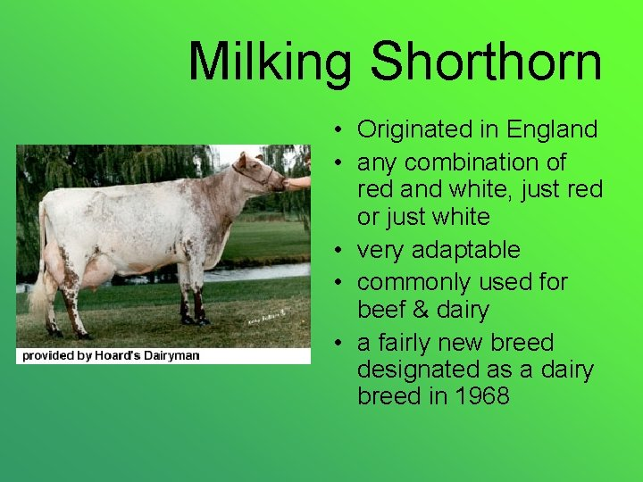 Milking Shorthorn • Originated in England • any combination of red and white, just