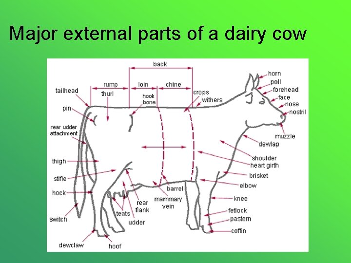 Major external parts of a dairy cow
