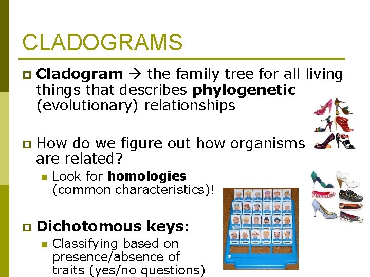 CLADOGRAMS p Cladogram the family tree for all living things that describes phylogenetic (evolutionary)