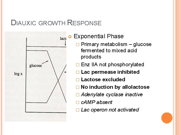 DIAUXIC GROWTH RESPONSE Exponential Phase � Primary metabolism – glucose fermented to mixed acid