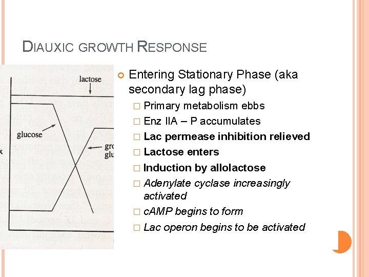 DIAUXIC GROWTH RESPONSE Entering Stationary Phase (aka secondary lag phase) � Primary metabolism ebbs