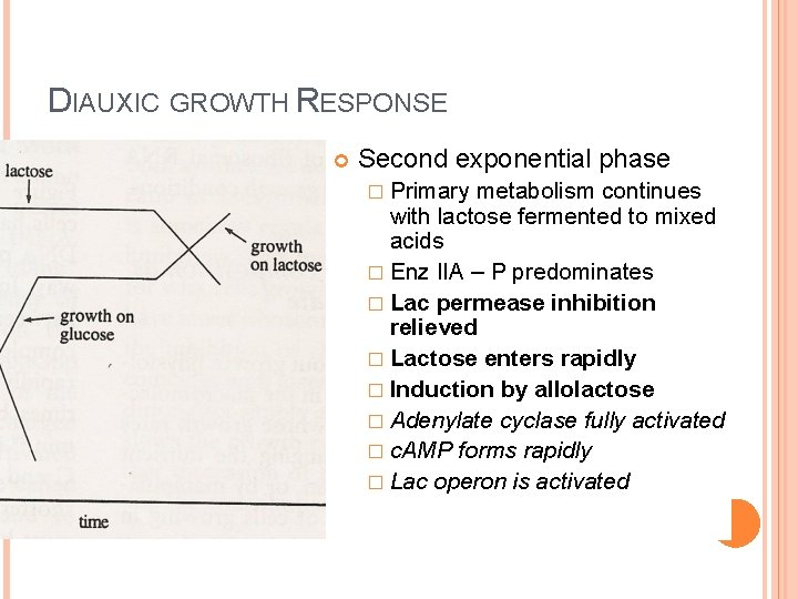 DIAUXIC GROWTH RESPONSE Second exponential phase � Primary metabolism continues with lactose fermented to