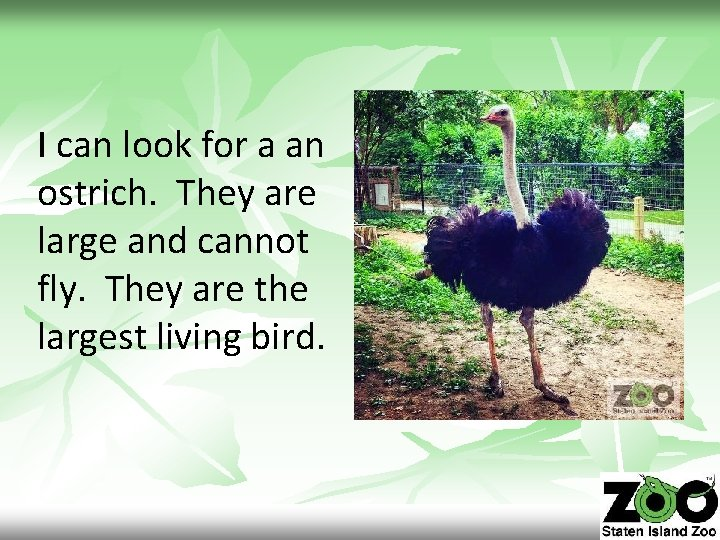 I can look for a an ostrich. They are large and cannot fly. They