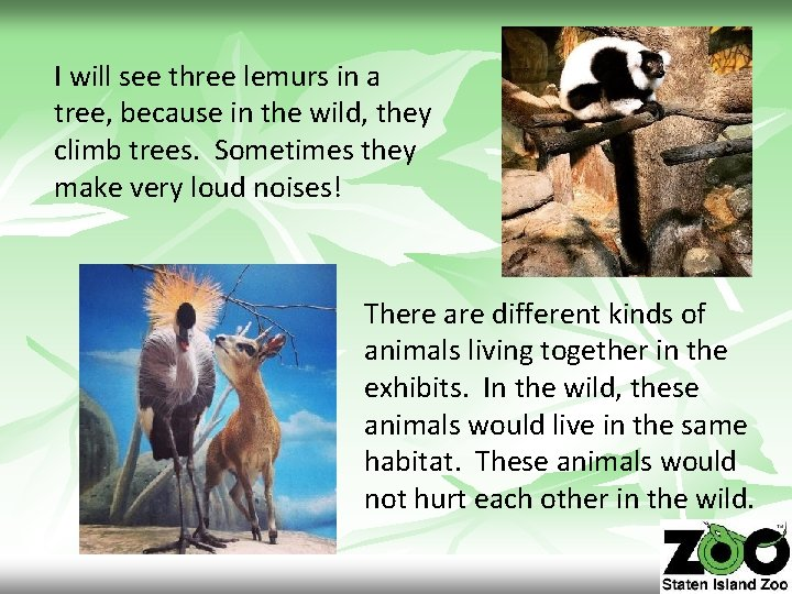 I will see three lemurs in a tree, because in the wild, they climb