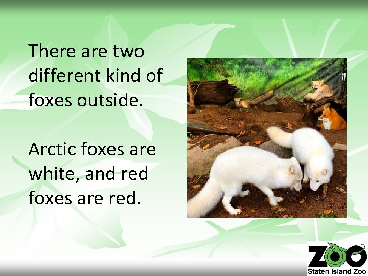 There are two different kind of foxes outside. Arctic foxes are white, and red
