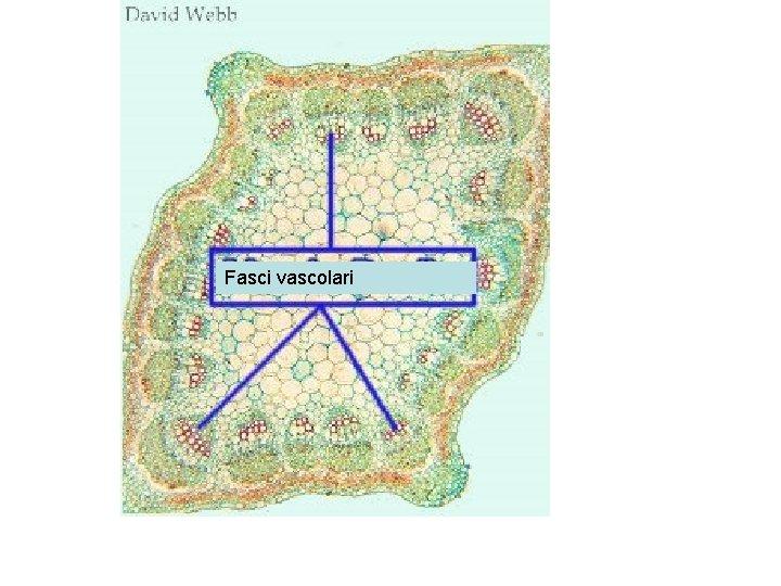 Fasci vascolari
