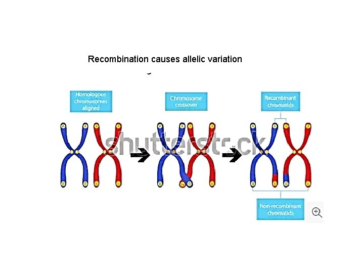Recombination causes allelic variation