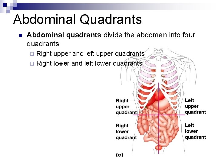 Human Anatomy Introduction N Anatomical Position A Common