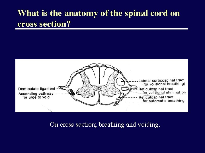 What is the anatomy of the spinal cord on cross section? On cross section;