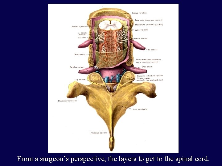 From a surgeon's perspective, the layers to get to the spinal cord.