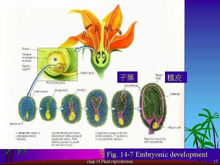 子葉 種皮 Fig. 14 -7 Embryonic development chap. 14 Plant reproduction 15